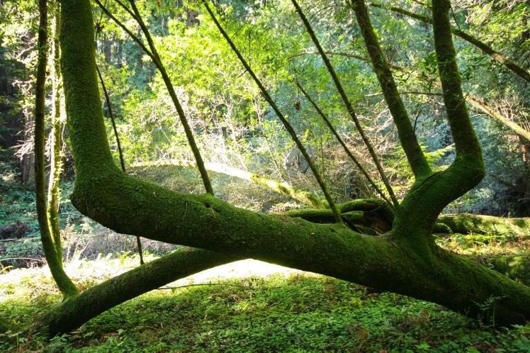 Muir Woods 12