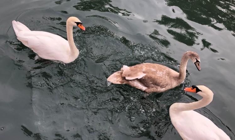 Lyon swans