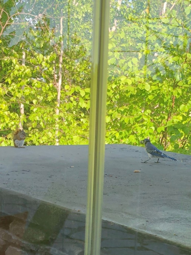 squirrel and blue jay (2)